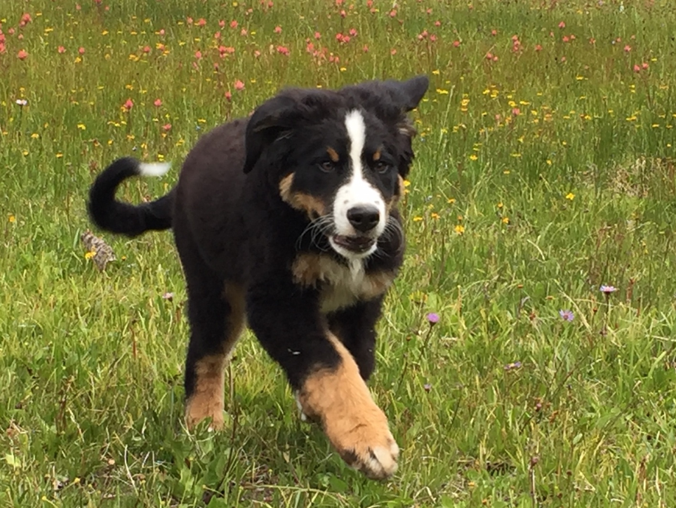 Baron, DeSantis Landscapes Chief Happiness Officer as  puppy in a natural meadow created for a sustainable buffer at a maintenance client's home.